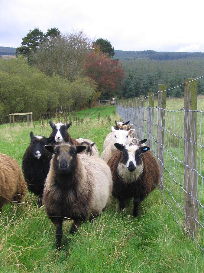 675px-Flock_of_shetland_sheep